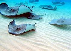 Amazing time feeding and swimming with the stingrays in Grand Cayman!