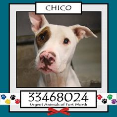 TO BE DESTROYED 04/24/17 ***REASON: MEDICAL*** CHICO - 2 years old - Pit Bull Terrier Mix - 33468024 - Heartworm Positive - #33468024 - FOR MORE PICS, VIDEOS & INFO: http://www.dogsindanger.com/dog/1476718523881