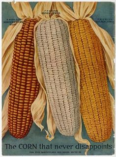 "Farmers would have been wowed by the corn depicted just inside the front cover of the 1915 Farmer Seed & Nursery catalog, for this was the ""corn that never disappoints.""  The varieties were the Northwestern Dent, Silver Jewel, and Golden Jewel.    Farmer Seed & Nursery originated in Faribault, MN in 1888; the University of Minnesota Andersen Horticultural Library has a collection of their vintage catalogs."