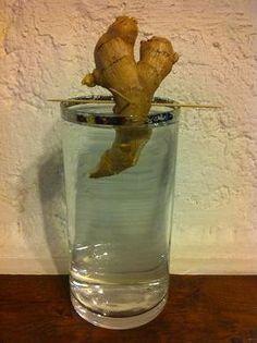 Comment faire pousser un rhizome de gingembre dans un verre d'eau ? Une activité marrante pour les enfants à réaliser avec vos parents ou à l'école .