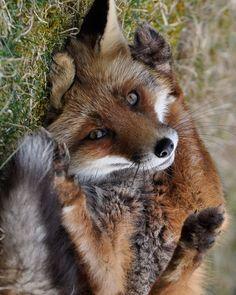 #redfox #fox  #foxes