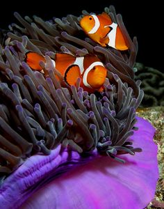 Commensalism. A class of relationship between two organisms where one organism benefits but the other is neutral (there is no harm or benefit). The sea anemone protects the Clown Fish from most predators who know not to go near the anemone's poisonous tentacles.