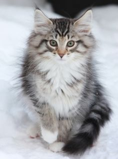 White Maine Coon http://www.mainecoonguide.com/adopting/