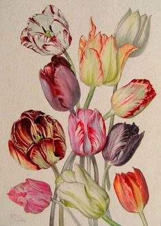 Variegated Tulips - 'Beautiful Eyes' in the Victorian Language of Flowers. Dorothy Maclegan Botanical Study, Meadle 1940-49