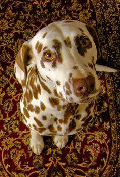 liver dalmatian -- Cute, but not as cute as Daphne <3