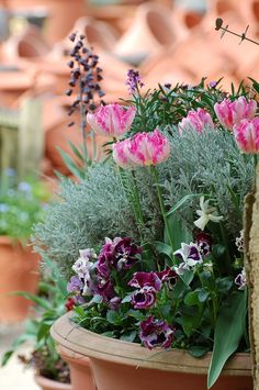 Container of tulip 'Silver Parrot' with Santolina chamaecyparissus and Viola 'Cancan'.