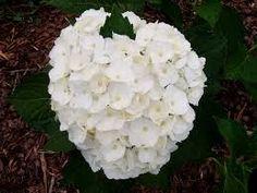 Hortensie alba (Hydragena macro. Mme Em. Mouillere)