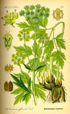 Livèche — Celeri perpetual