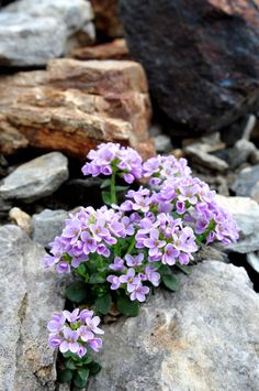Power of love! Rock Flowers, Flowers Nature, Purple Flowers, Wild Flowers, Beautiful Flowers, Alpine Garden, Alpine Plants, Rock Plants, Garden Plants