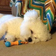 Time for a nap, lil' tuckered out Bichon! ❤️