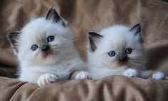 Rag Doll Cat Blue Ragdoll kittens - seal point mitted I want another one with these colors, Snuggles was so cute! - Let see pictures of cat bath/wet cat, Cats are cute and cuddly animals. The independent nature of cats makes them an ideal choice as pets. Gatos Ragdoll, Ragdoll Cat Breeders, Birman Kittens, Ragdoll Kittens For Sale, Gatos Cat, Puppies And Kitties, Kittens Cutest, Cats And Kittens, Cute Cats