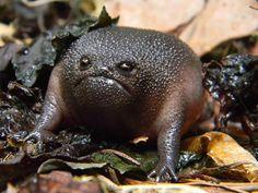 Black Rain Frog (Breviceps fuscus) - odd little amphibian. I think I know where Jaba the Hutt came from.
