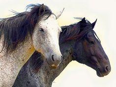 'Horse Couple' von Dirk h. Wendt bei artflakes.com als Poster oder Kunstdruck…