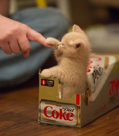 'High-Five Daddy' - Adorable Little Baby Ginger Kitten in a Box