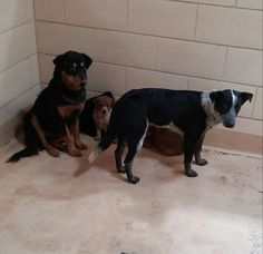 7-16: These two sweet girls and puppies are in Puppy Pen 1 at Midland TX Animal Shelter! They are available for adoption now and desperately need to find forever homes!! URGENT WITH ZERO SHARES! Please share their photo so their forever families can find them! https://www.facebook.com/photo.php?fbid=664604553630056&set=a.595144520576060.1073741917.516663351757511&type=1&theater