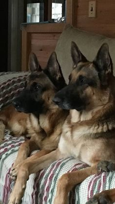 I wonder if they are watching K9 Cops on tv?