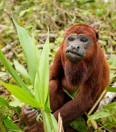 red howler monkey.  Loreto Province, Peru. | Flickr - Photo Sharing!