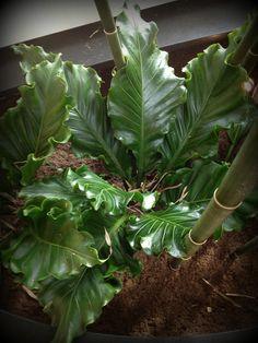 Anthurium plowmanii or Bird's Nest Anthurium