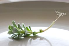 How To Take A Stem Cutting For Propagation Propegating Succulents, Propogate Succulents, Propagate Succulents From Leaves, Succulent Cuttings, Types Of Succulents, Growing Succulents, Succulent Gardening, Succulent Care, Planting Flowers
