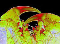 mandibola di ragno