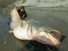 Italian fisherman Dino Ferrari landed what could potentially be a world record wels catfish in Italy's Po Delta. Ferrari's fish measured an incredible 8.7 feet in length and weighed 280 pounds. The...