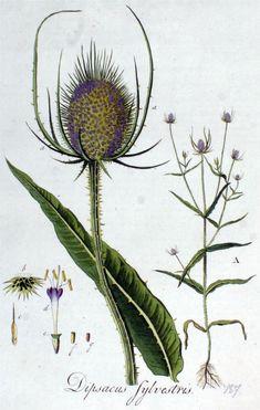 Grote kaardebol - Dipsacus fullonum