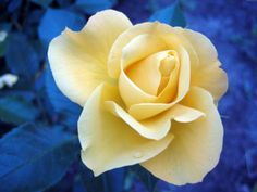 yellow rose with blue leaves, image uploaded by anonymous in nature category. Hd Flowers, Summer Flowers, Beautiful Flowers, White Flower Wallpaper, Rose Wallpaper, Wallpaper Desktop, Laptop Wallpaper, Wallpapers, Yellow Roses