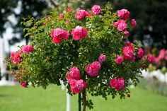 Standard rose trees are hybrid roses that grow from a singular trunk, like a tree.  They are grafted onto the trunk and the trunk is grafted onto a root stock, forming the standard. Standard roses are often grown in containers, but they perform better when planted directly in the ground.   Learn how-to PLANT A STANDARD ROSE TREE >> http://www.garden-trends.com/2013/05/how-to-plant-standard-rose-tree.html