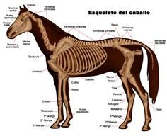 Diagram of a horse skeleton with major parts labeled ...