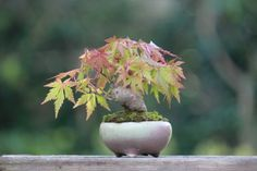 Super mini bonsai blog | mini bonsai of maple