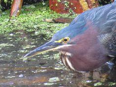 Bird Photos, Birding Sites, Bird Information: GREEN HERON, CORKSCREW SWAMP SANCTUARY, NAPLES, FL...