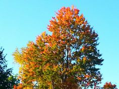 Love the colors on this tree in my back yard.