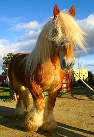 Shire horse - Easy Branches - Global Internet Marketing Network Company | SEO Expert