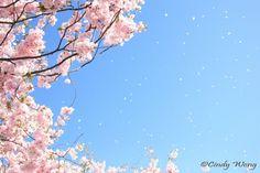 19 káprázatos fotó a cseresznyevirágzásról, amiben nem győzöl majd gyönyörködni