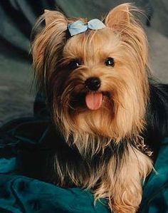 Yorkshire Terrier 5 Know About Yorkshire Terrier