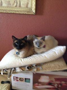 Our Seal Point and Blue point Siamese cats