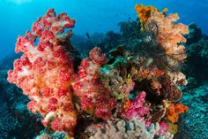 Extravagant soft coral of the Rainbow Reef, Somosomo Strait. Image by Pete Oxford / Minden Pictures / Getty Images Underwater Images, Underwater World, Fiji Airways, Learn To Scuba Dive, Fly To Fiji, Fiji Beach, Fiji Islands, Soft Corals, Snorkelling