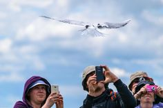 Artic Tern being photographed on Farne Isles. Birds, Nature, Photos, Naturaleza, Pictures, Bird, Nature Illustration, Off Grid, Natural