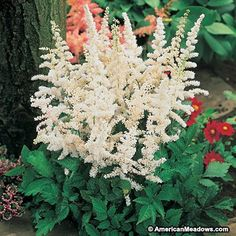 Deutschland's pure white plumes illuminate the shade garden. This favorite Astilbe gets its name from Germany, where it was hybridized. Try pairing with any fern for a gorgeous, contrasting look. (Astilbe japonica)