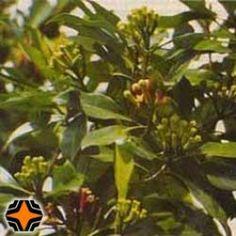 CRAVO FOLHA - OE DA LIBERAÇÃO ENERGÉTICA  |  Aromaterapia: Remove a energia velha do ambiente, Libera as memórias impregnadas, incentivando o desapego. Terapia: Antifúngico, antisséptico, combate aftas e mau hálito.