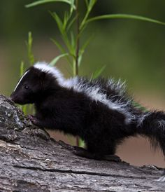 Young skunk. How can something so cute be such a stinker on the homestead? I don't like skunks!
