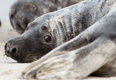 A grey seal Stock Photo Royalty Free Pictures, Photo Online, Seal, Stock Photos, Grey, Animals, Image, Gray, Animales
