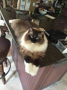 I seriously love ragdoll kittens. best images ideas about ragdoll kitten - most affectionate cat breeds - Tap the link now to see all of our cool cat collections! Cute Cats And Kittens, Cool Cats, Kittens Cutest, Pretty Cats, Beautiful Cats, Pretty Kitty, Beautiful Cat Breeds, Gatos Cool, Maine Coon Cats