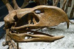 Phorusrhacos skull head, P. longissimus, giant flightless predatory carnivorous bird