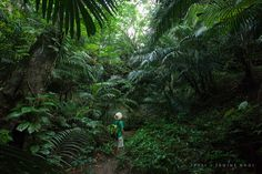 Hiking in Japan's tropical rainforest jungle of Formosa palms, Iriomote of Yaeyama Islands | by Ippei & Janine Naoi