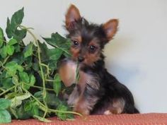 Puppies for Sale Yorkies For Sale, Puppies For Sale, Yorkshire Terrier Puppies, Dogs, Animals, Beautiful, Animales, Animaux, Doggies