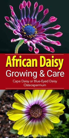 African daisy osteospermum enjoys well drained soil lots of sun frost-free location flowers profusely all summer or in the landscape. [LEARN MORE] Growing Flowers, Planting Flowers, Flower Gardening, Flowers Garden, Gardening Tips, Balcony Gardening, Daisy Flowers, Summer Flowers, Daisies