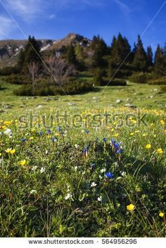 mountain meadow  in spring; bunch of flowers in the foreground against blurred background