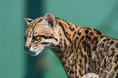 Large Domestic Cat Breeds – An Overview Caracal, Serval, Black Footed Cat, Large Domestic Cat Breeds, Reference Photos For Artists, Ocicat, Sand Cat, Cat Species, Leopard Cat