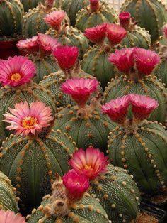 "Astrophytum hybrid SEN-AS ""PINK"" (pink flower form) (A. Aureum x … – Cactus – Cactus Cacti And Succulents, Planting Succulents, Planting Flowers, Flowers Garden, Cactus Planta, Cactus Y Suculentas, Cactus Cactus, Amazing Flowers, Beautiful Flowers"